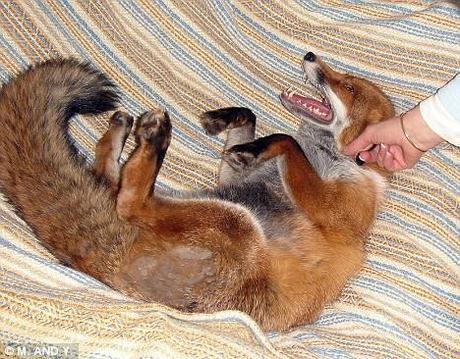 Foto di Miss snookie, la volpe da cui ho preso ispirazione