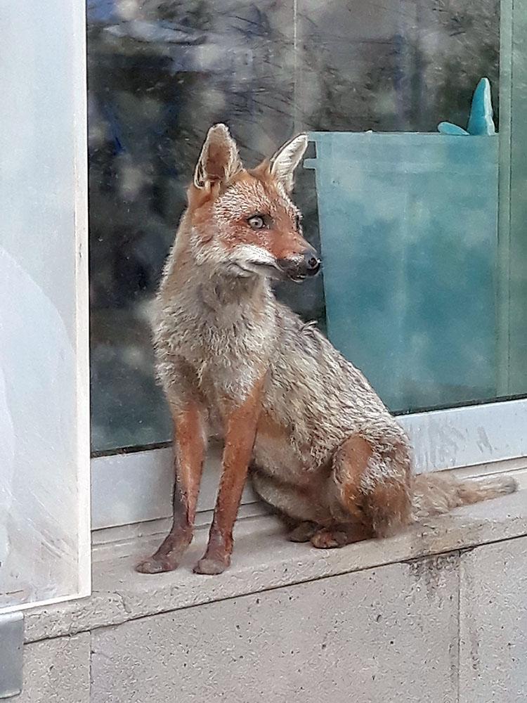 Foto di Rosa fumetta la volpe salvata dall'incendio